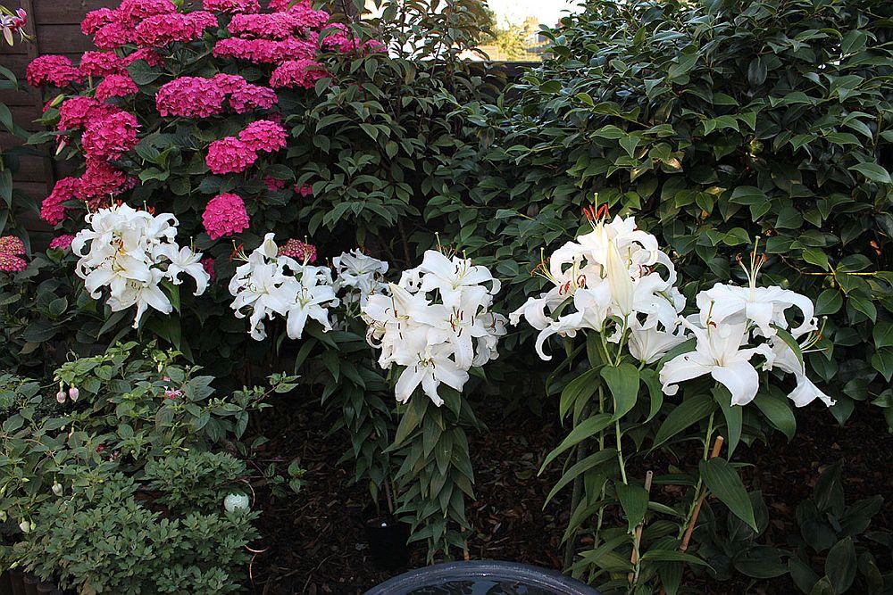 adelaparvu.com despre plante cu flori mirositoare mai putin cunoscute, text Carli Marian, in foto Crin 9