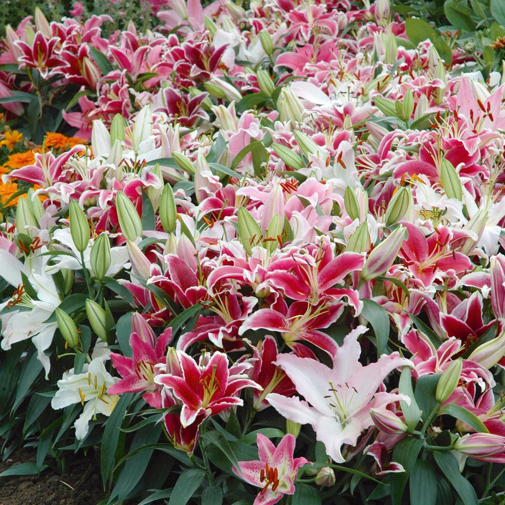 adelaparvu.com despre plante cu flori mirositoare mai putin cunoscute, text Carli Marian, in foto Crin1