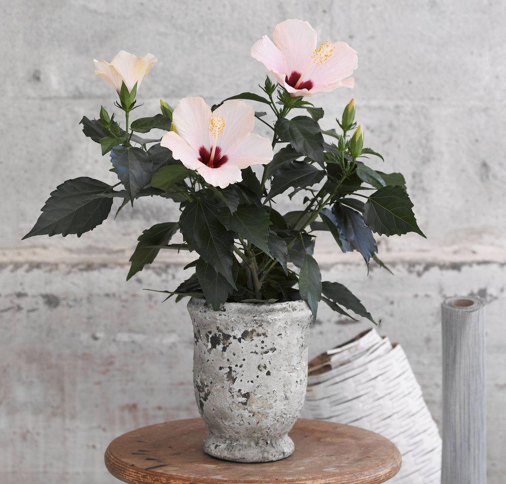adelaparvu.com despre trandafirul japonez, trandafirul chinezesc, Hibiscus, text Carli Marian, Foto Floradania (12)