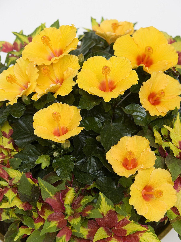 adelaparvu.com despre trandafirul japonez, trandafirul chinezesc, Hibiscus, text Carli Marian, Foto Floradania (13)
