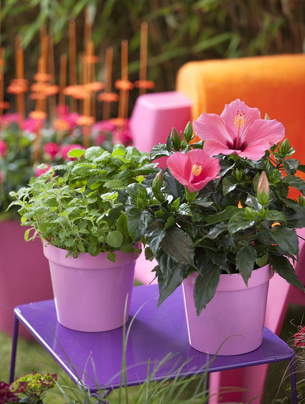 adelaparvu.com despre trandafirul japonez, trandafirul chinezesc, Hibiscus, text Carli Marian, Foto Floradania (14)