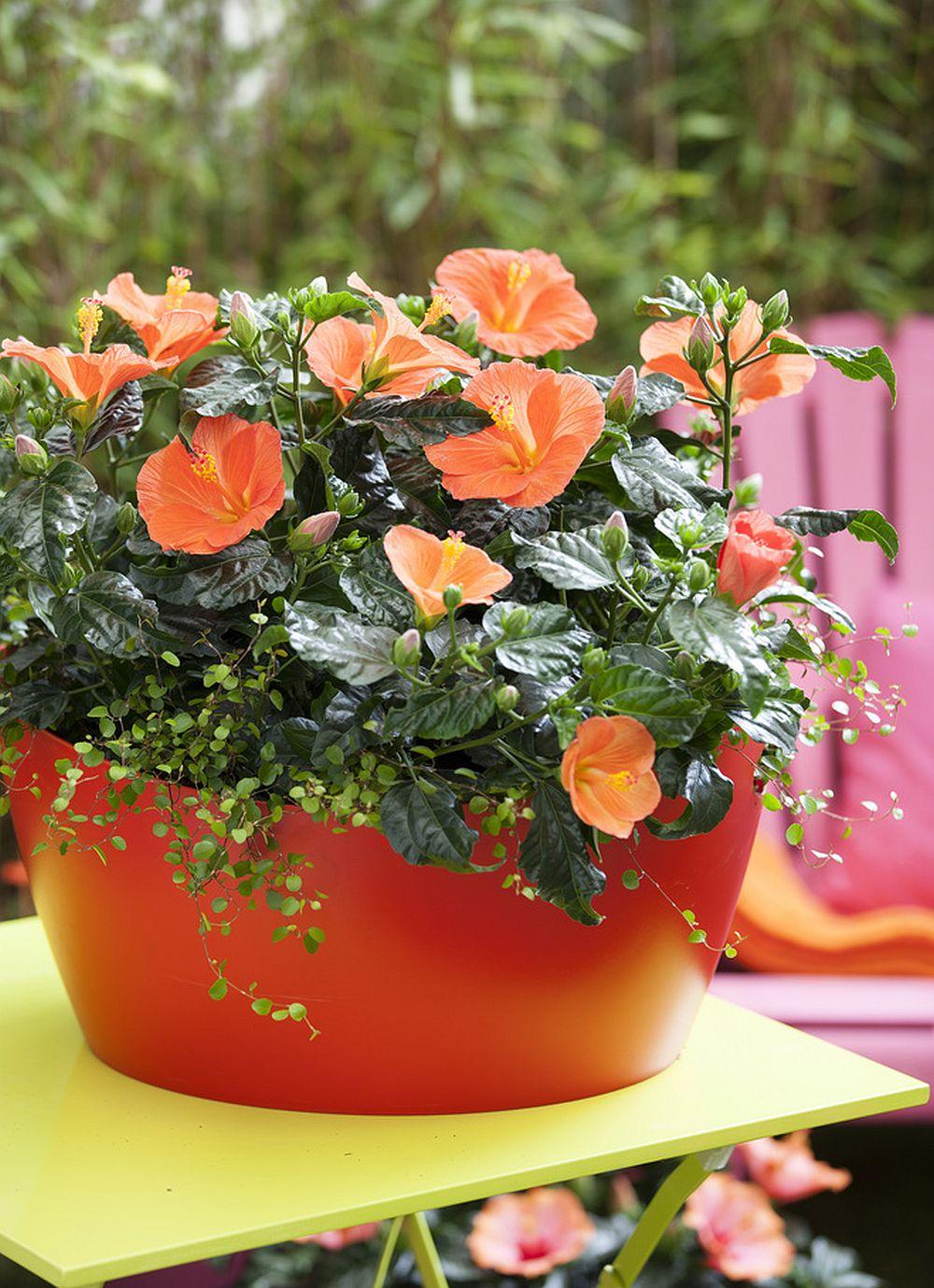 adelaparvu.com despre trandafirul japonez, trandafirul chinezesc, Hibiscus, text Carli Marian, Foto Floradania (15)
