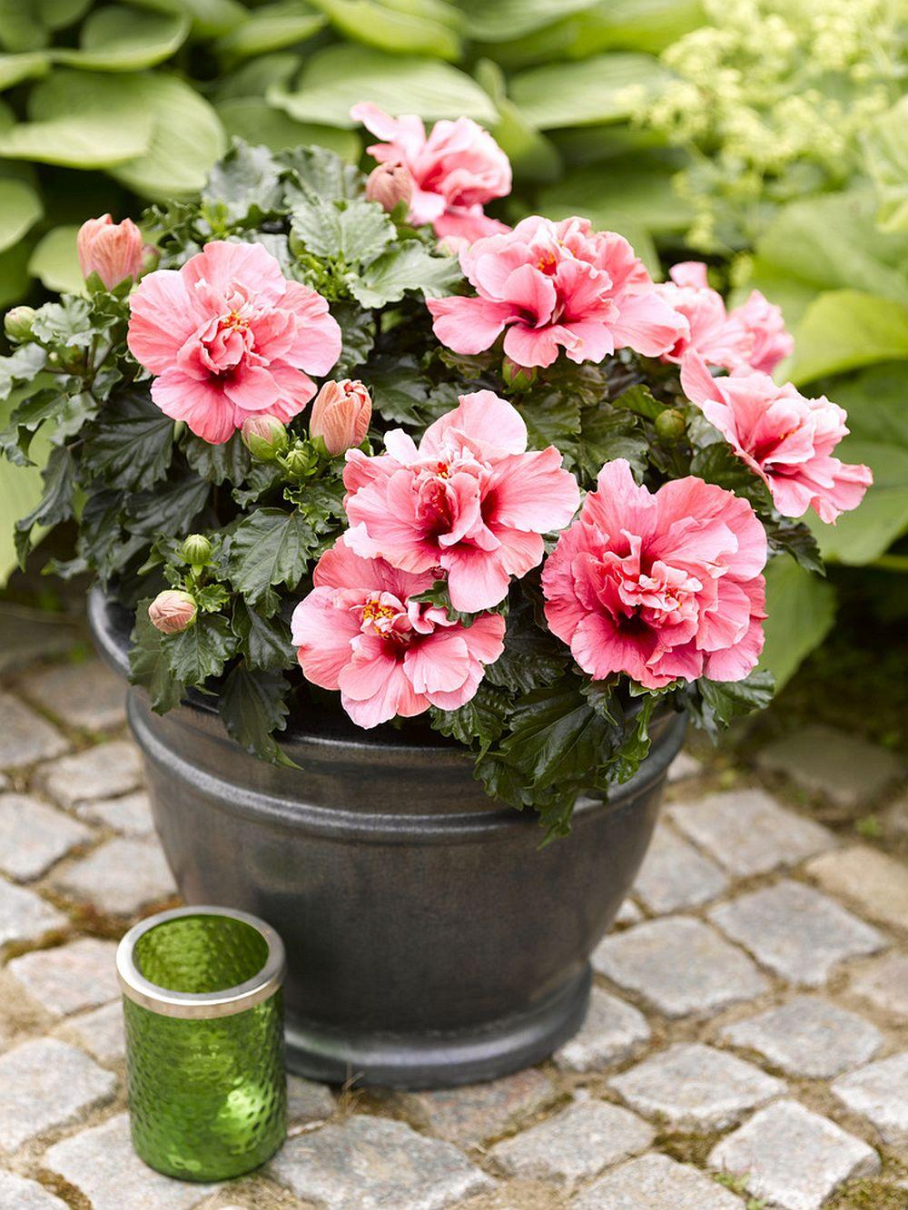 adelaparvu.com despre trandafirul japonez, trandafirul chinezesc, Hibiscus, text Carli Marian, Foto Floradania (16)