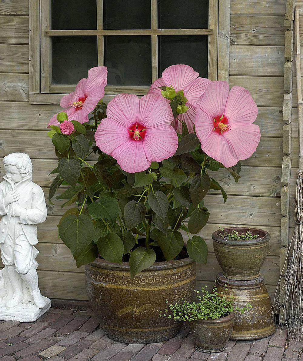 adelaparvu.com despre trandafirul japonez, trandafirul chinezesc, Hibiscus, text Carli Marian, Foto Floradania (17)