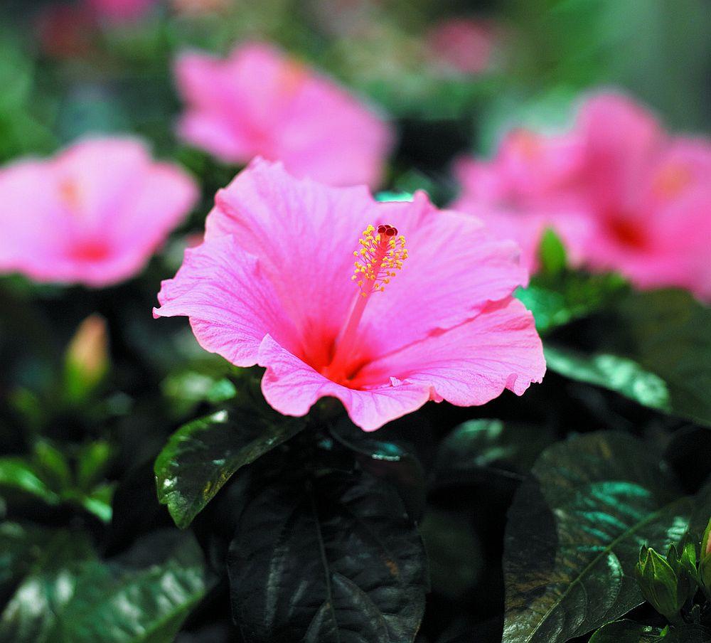 adelaparvu.com despre trandafirul japonez, trandafirul chinezesc, Hibiscus, text Carli Marian, Foto Floradania (2)