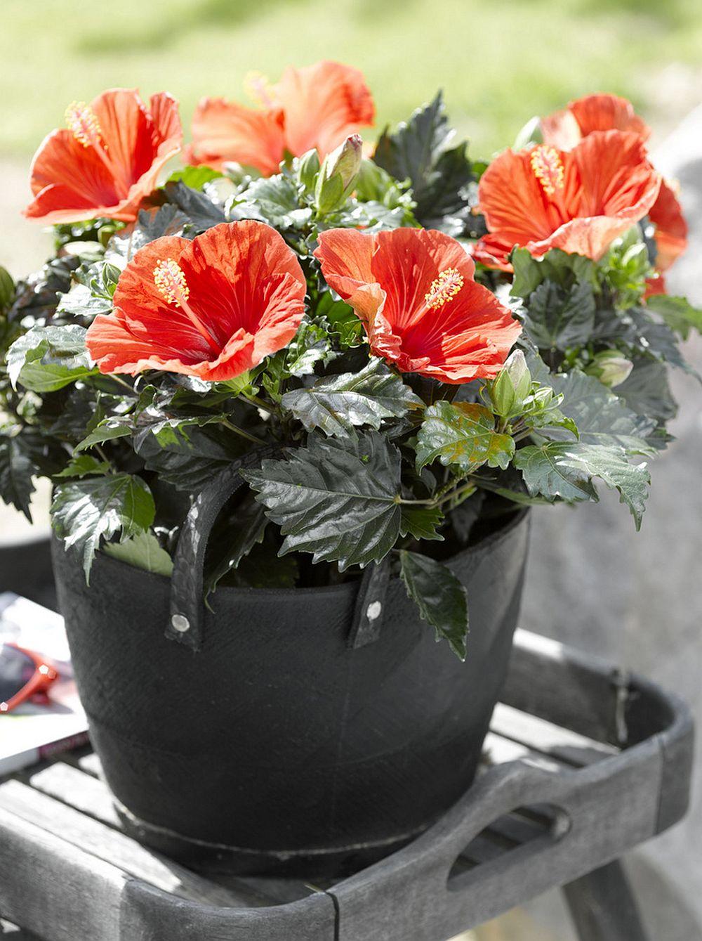 adelaparvu.com despre trandafirul japonez, trandafirul chinezesc, Hibiscus, text Carli Marian, Foto Floradania (4)