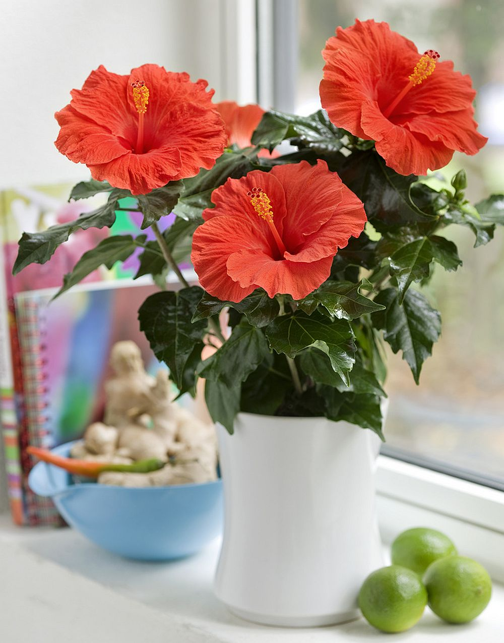 adelaparvu.com despre trandafirul japonez, trandafirul chinezesc, Hibiscus, text Carli Marian, Foto Floradania (5)