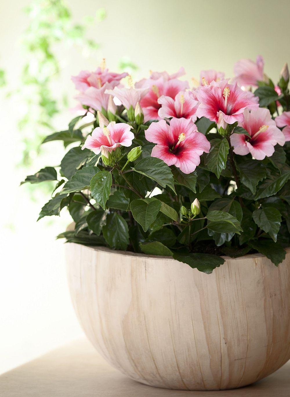 adelaparvu.com despre trandafirul japonez, trandafirul chinezesc, Hibiscus, text Carli Marian, Foto Floradania (8)