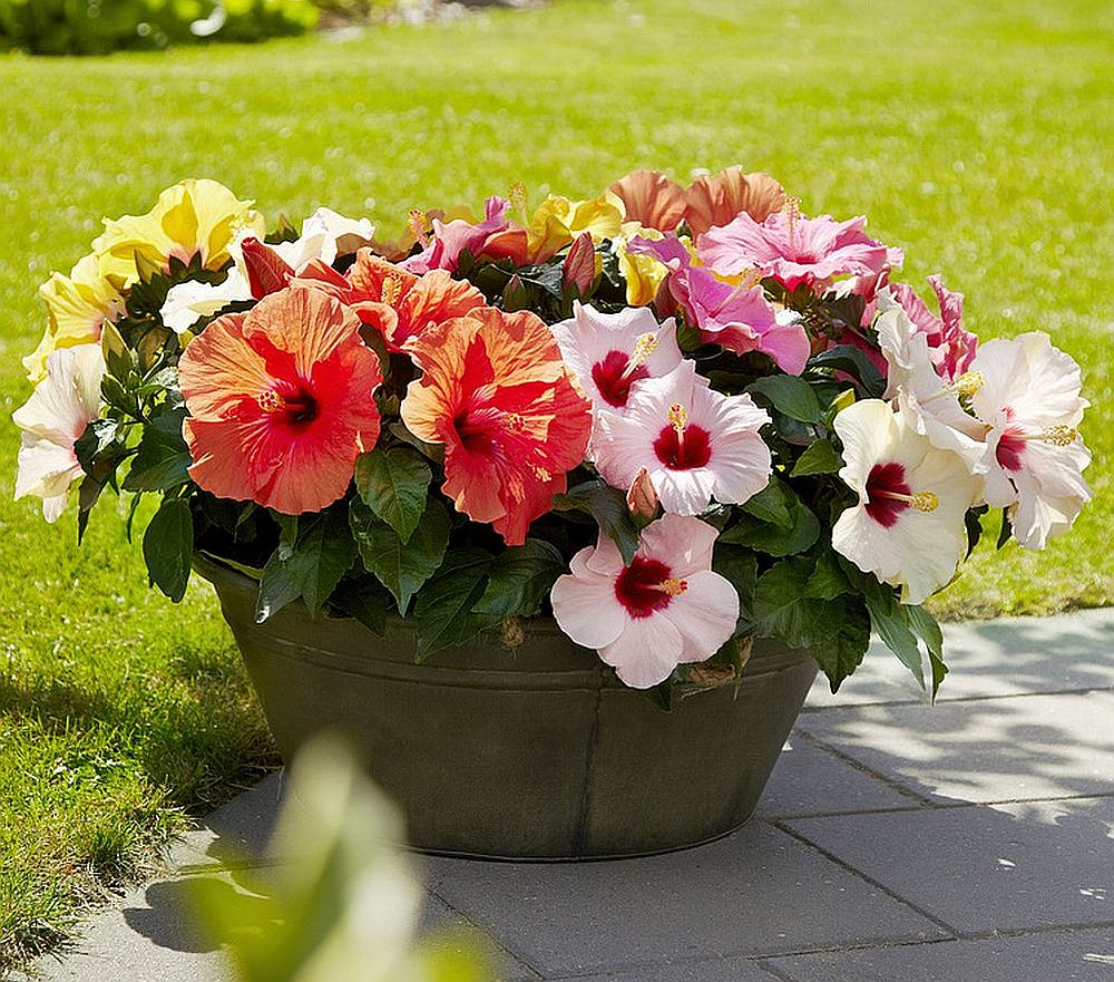 adelaparvu.com despre trandafirul japonez, trandafirul chinezesc, Hibiscus, text Carli Marian, Foto Floradania
