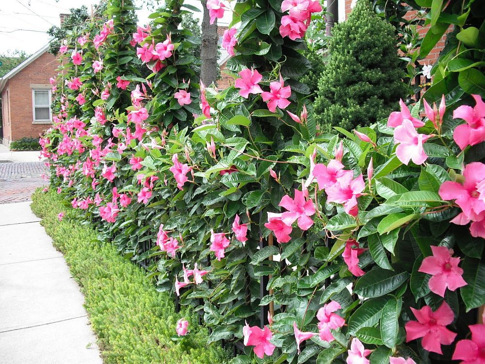 adelaparvu.com despre Mandevilla floare cataratoare, text Carli Marian (1)
