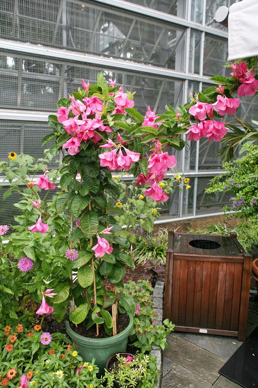 adelaparvu.com despre Mandevilla floare cataratoare, text Carli Marian (10)