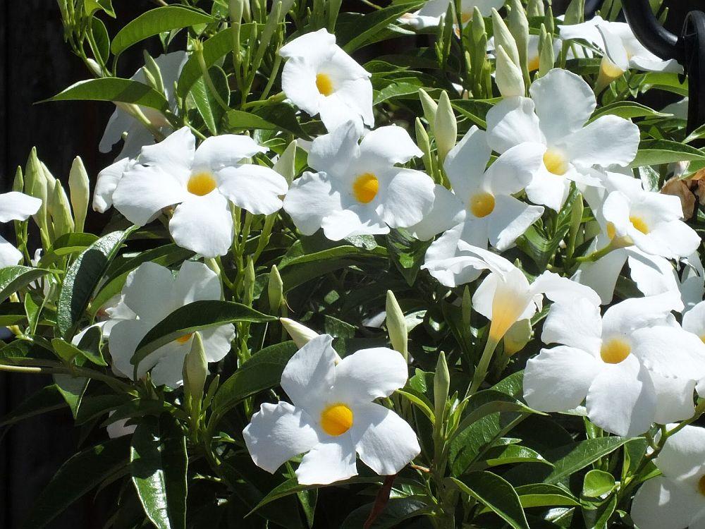 adelaparvu.com despre Mandevilla floare cataratoare, text Carli Marian (11)