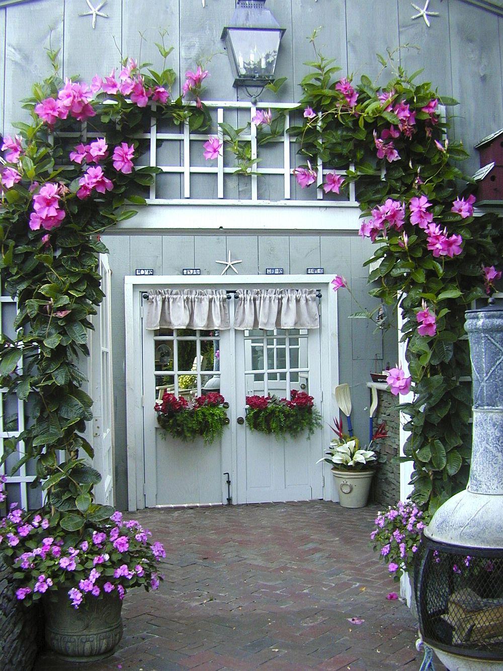 adelaparvu.com despre Mandevilla floare cataratoare, text Carli Marian (2)