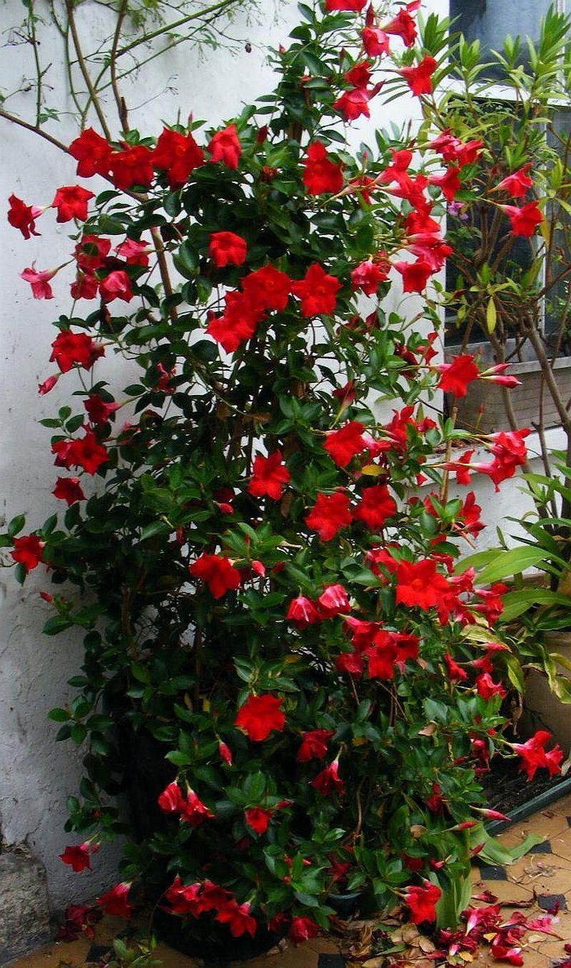 adelaparvu.com despre Mandevilla floare cataratoare, text Carli Marian (4)