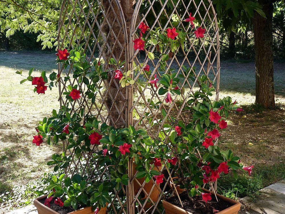 adelaparvu.com despre Mandevilla floare cataratoare, text Carli Marian (5)