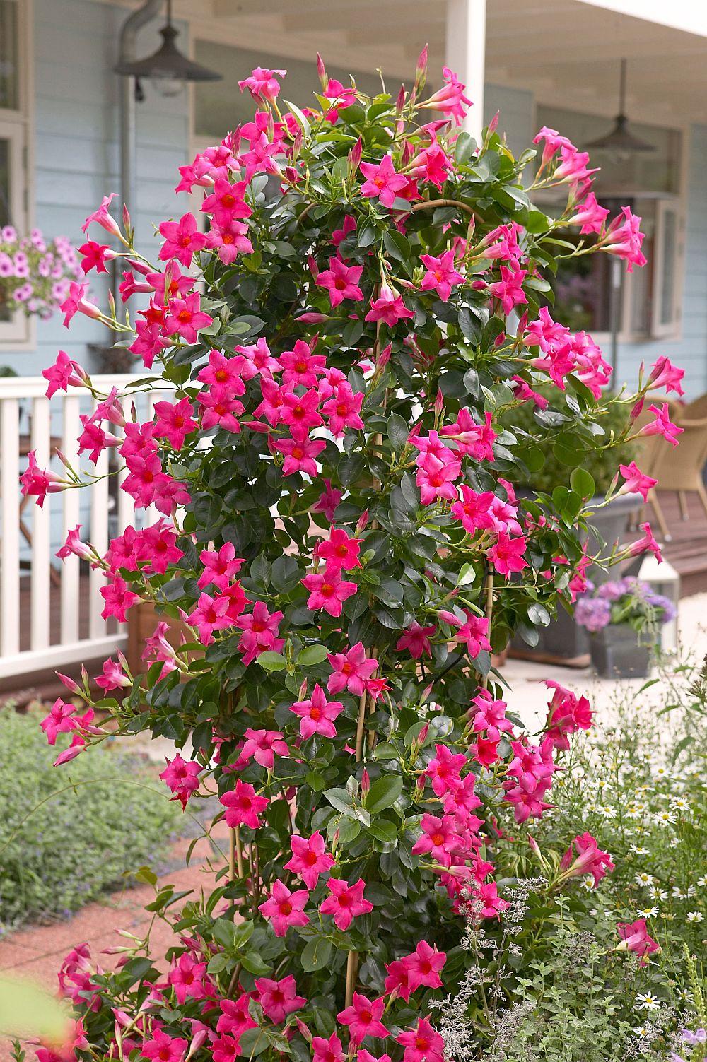 adelaparvu.com despre Mandevilla floare cataratoare, text Carli Marian (6)