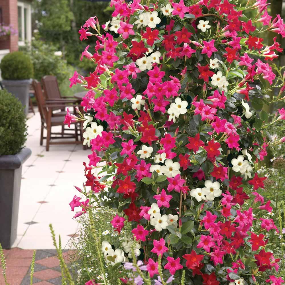 adelaparvu.com despre Mandevilla floare cataratoare, text Carli Marian (7)