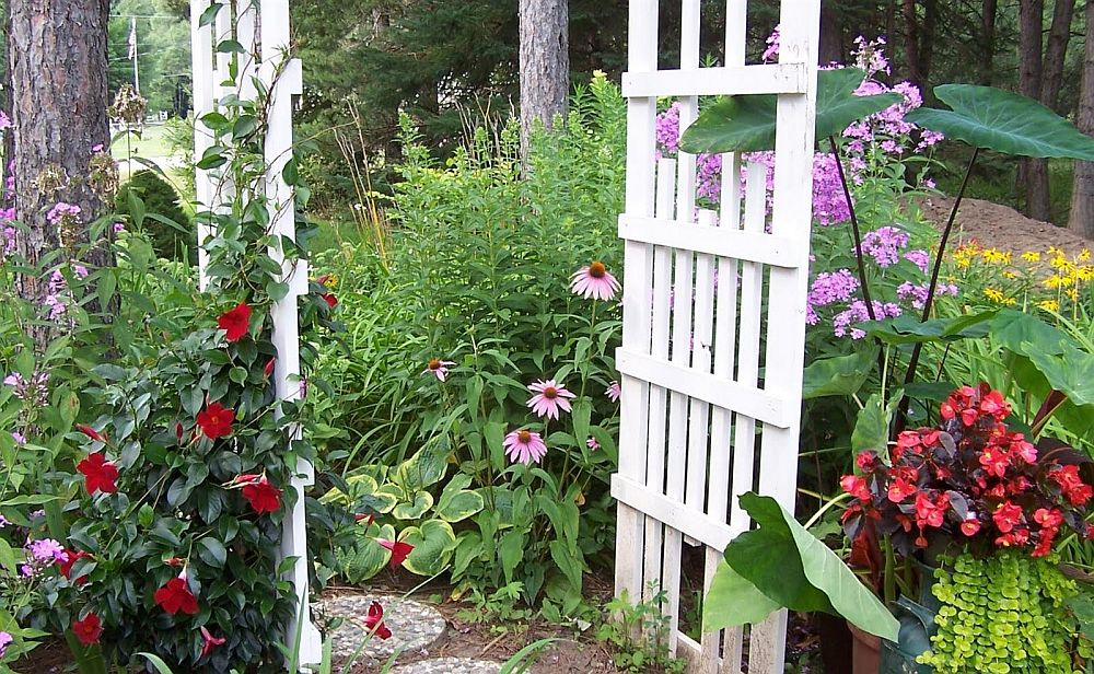 adelaparvu.com despre Mandevilla floare cataratoare, text Carli Marian (8)