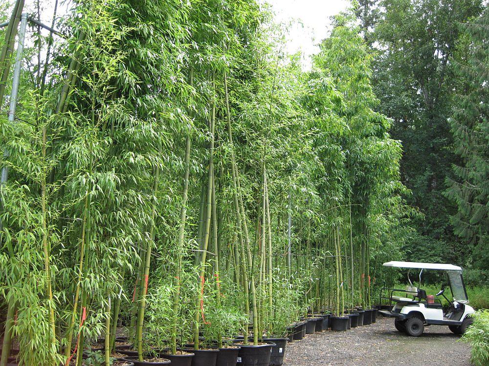 adelaparvu.com despre bambusul in gradina, text Carli Marian (12)