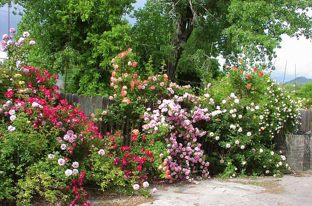 adelaparvu.com despre bolile si daunatorii trandafirului, Text Carli Marian 2