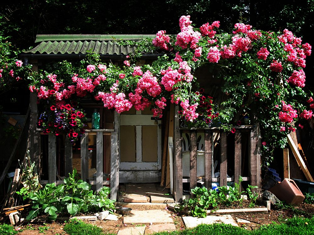 adelaparvu.com despre bolile si daunatorii trandafirului, Text Carli Marian 3