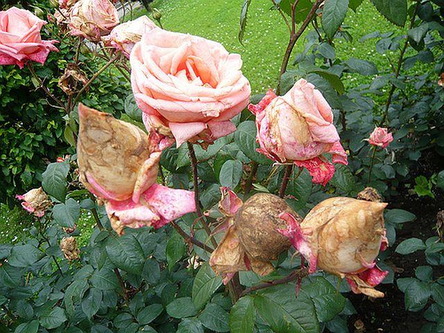 botrytis - putregai cenusiu la trandafiri