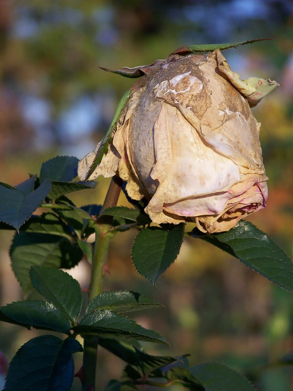 putregai cenusiu la trandafiri