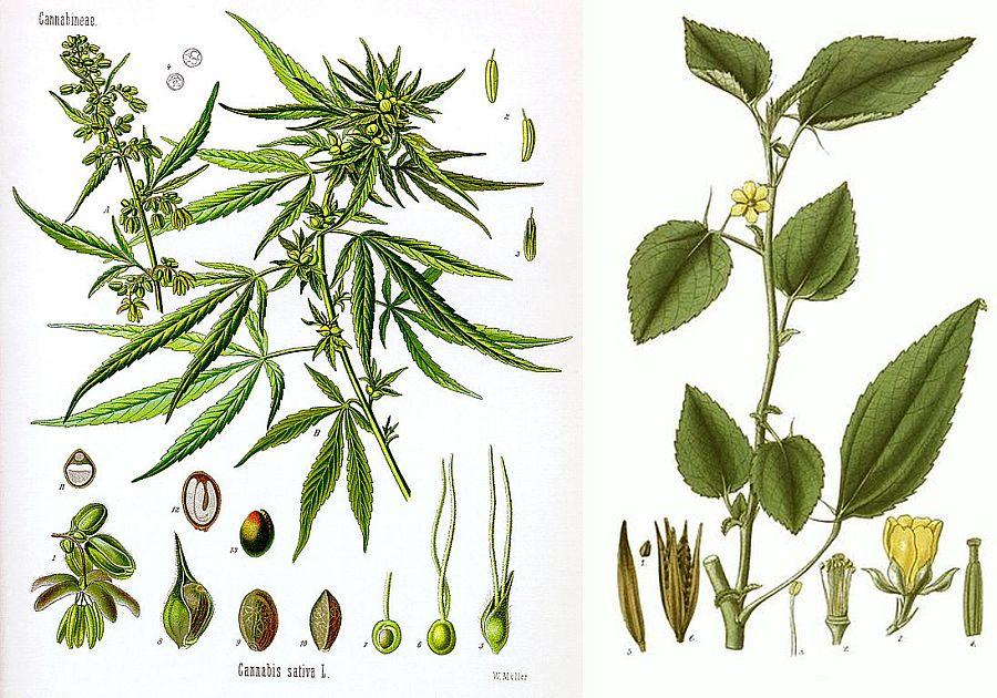 In stanga capena (Cannabis sativa), in dreapta iuta (Corchorus olitorius)