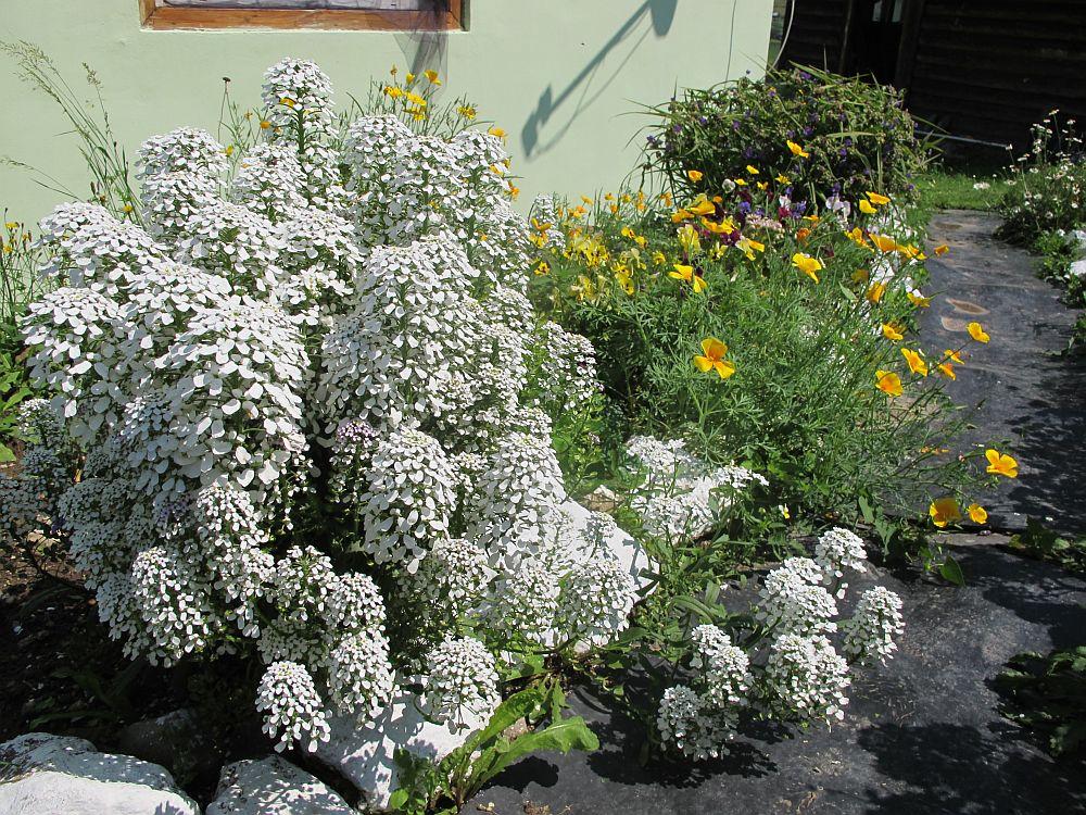 adelaparvu.com despre gradina la munte, gradina cu flori si legume (13)