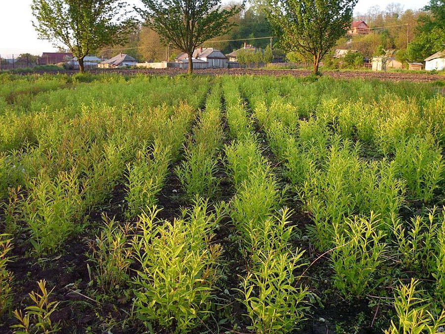 Plantatia de rachita