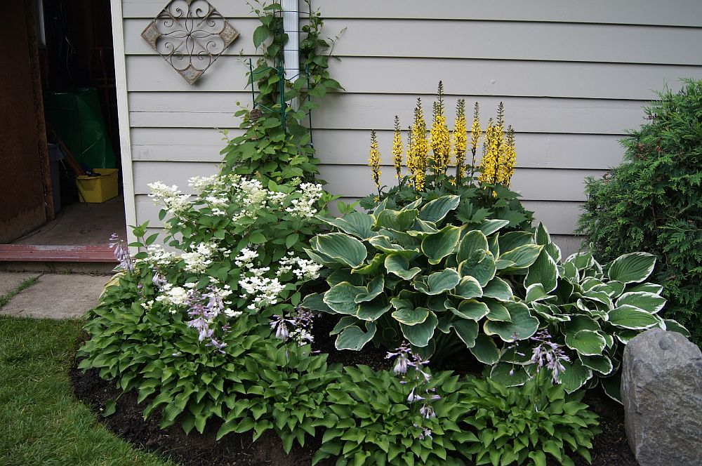Ligularia  in combinatie cu Hosta
