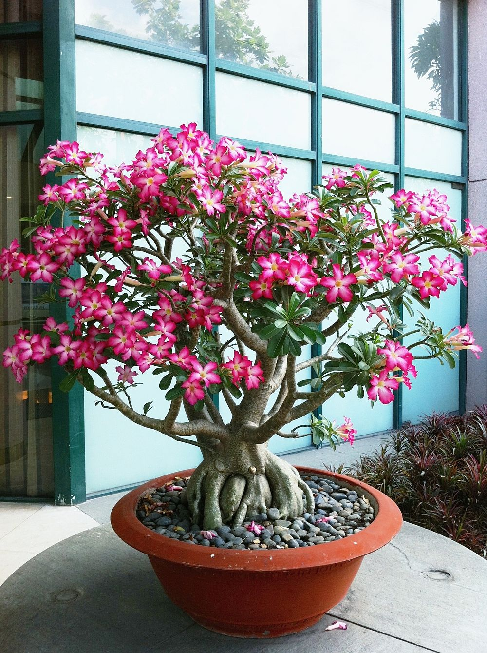 adelaparvu.com despre Adenium Obesum, Trandafirul desertului, Text Carli Marian  (1)