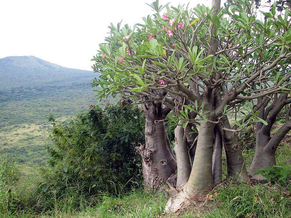 adelaparvu.com despre Adenium Obesum, Trandafirul desertului, Text Carli Marian  (11)