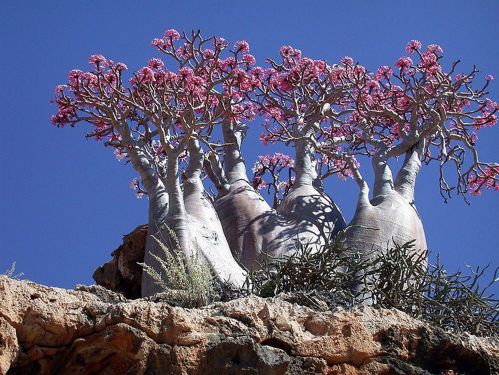 adelaparvu.com despre Adenium Obesum, Trandafirul desertului, Text Carli Marian  (12)