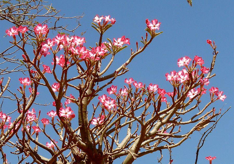 adelaparvu.com despre Adenium Obesum, Trandafirul desertului, Text Carli Marian  (13)