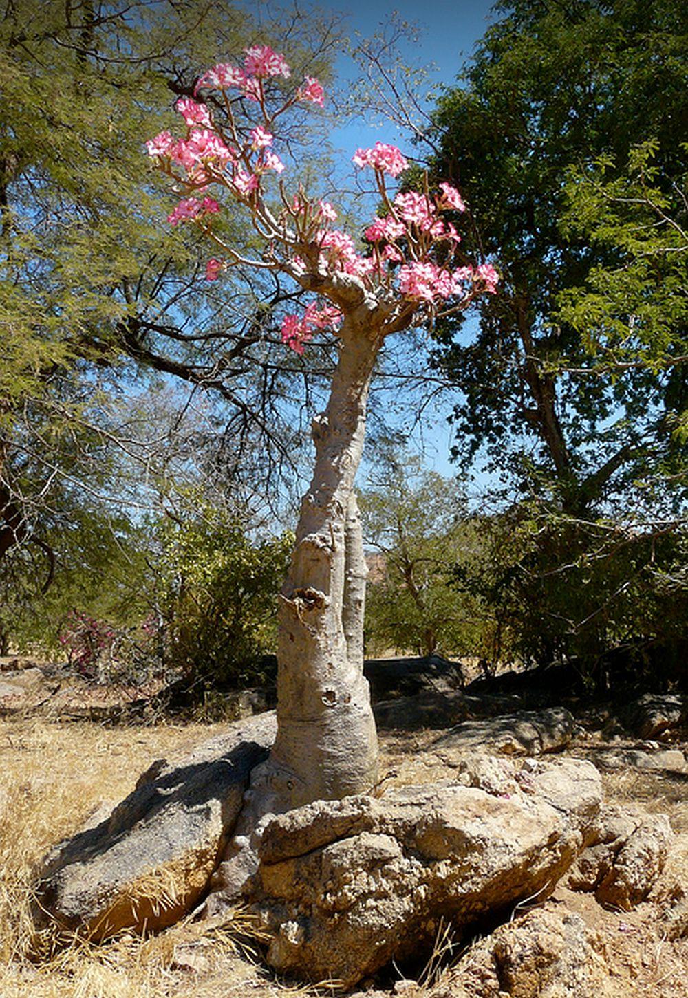 adelaparvu.com despre Adenium Obesum, Trandafirul desertului, Text Carli Marian  (14)