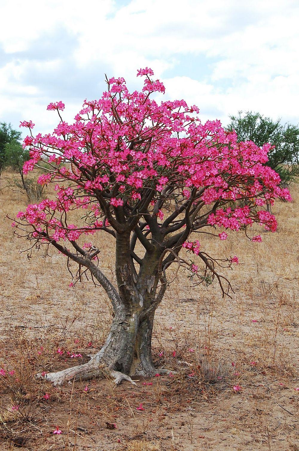 adelaparvu.com despre Adenium Obesum, Trandafirul desertului, Text Carli Marian  (15)