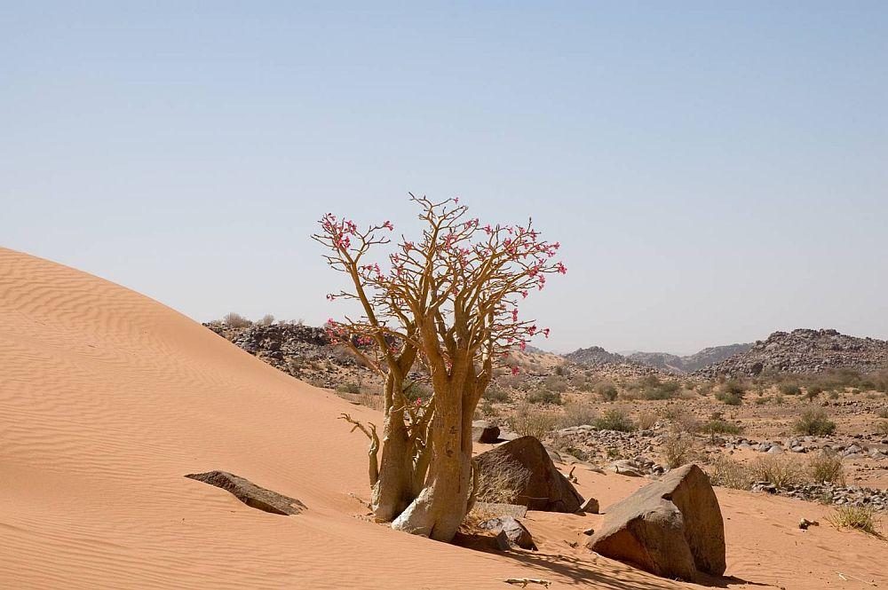 adelaparvu.com despre Adenium Obesum, Trandafirul desertului, Text Carli Marian  (17)