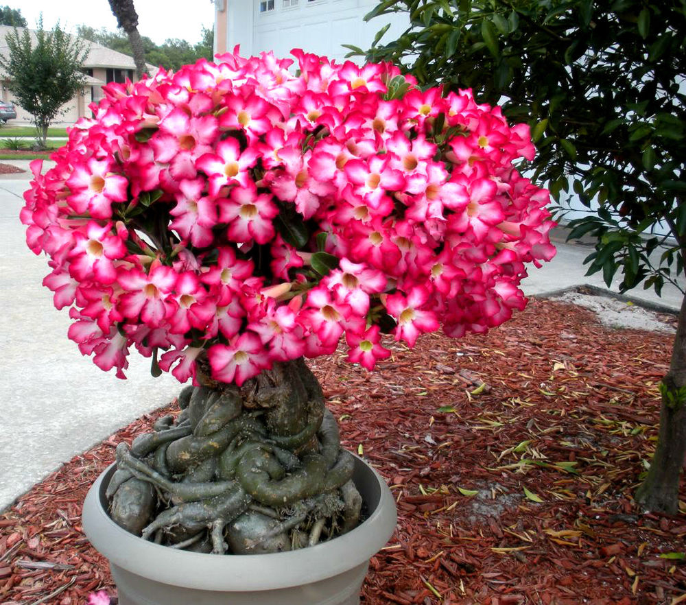 adelaparvu.com despre Adenium Obesum, Trandafirul desertului, Text Carli Marian  (2)
