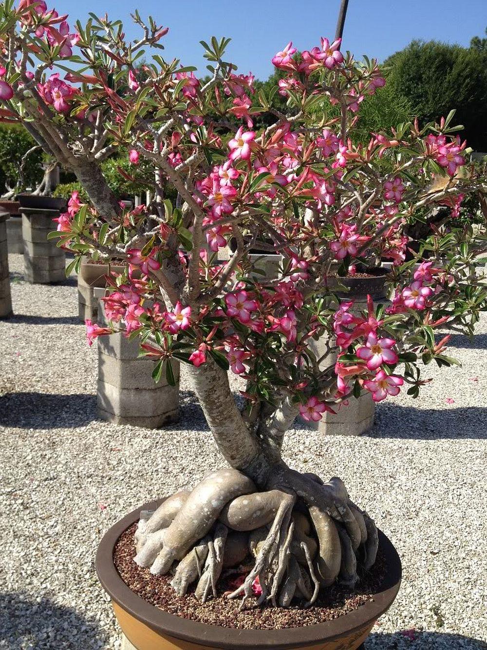 adelaparvu.com despre Adenium Obesum, Trandafirul desertului, Text Carli Marian  (4)
