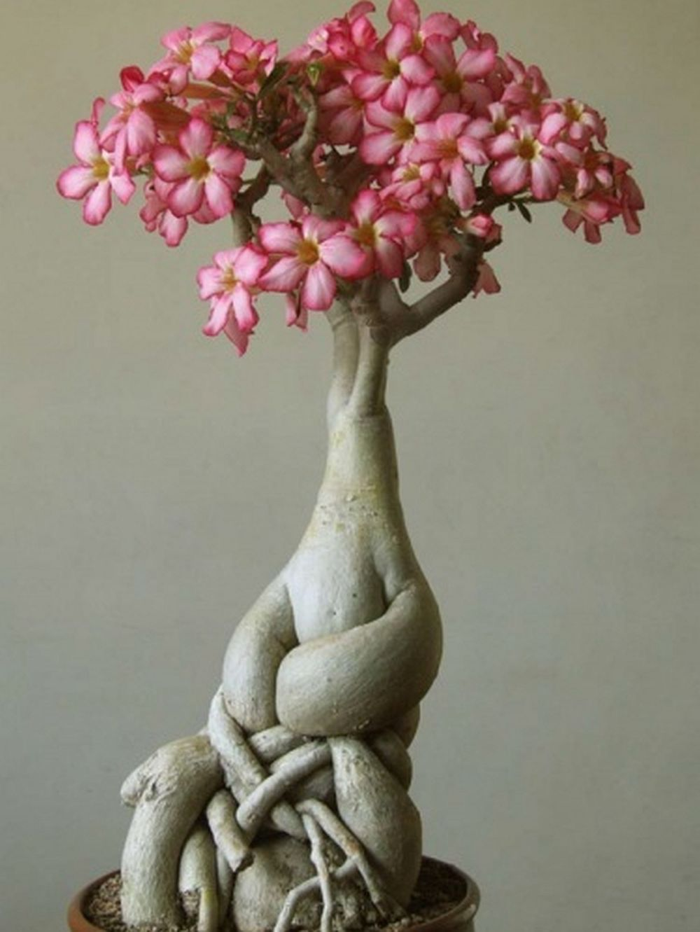 adelaparvu.com despre Adenium Obesum, Trandafirul desertului, Text Carli Marian  (5)