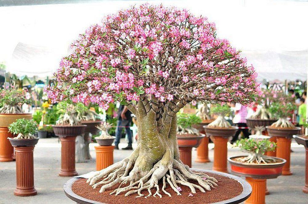 adelaparvu.com despre Adenium Obesum, Trandafirul desertului, Text Carli Marian  (6)