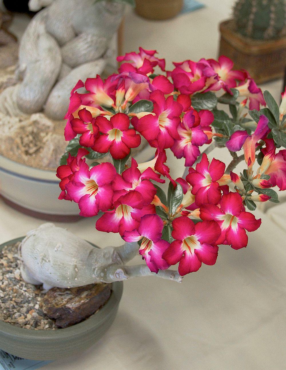adelaparvu.com despre Adenium Obesum, Trandafirul desertului, Text Carli Marian  (7)