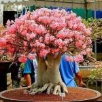 adelaparvu.com despre Adenium Obesum, Trandafirul desertului, Text Carli Marian  (8)