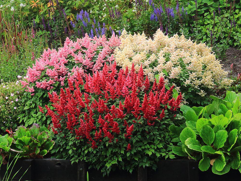 adelaparvu.com despre Astible, plante cu flori pentru gradini semiumbrite, text Carli Marian  (1)