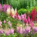 adelaparvu.com despre Astible, plante cu flori pentru gradini semiumbrite, text Carli Marian  (2)