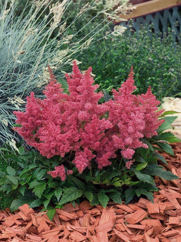 adelaparvu.com despre Astible, plante cu flori pentru gradini semiumbroase, text Carli Marian (10)