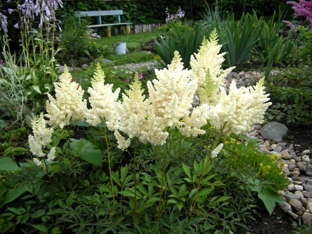adelaparvu.com despre Astible, plante cu flori pentru gradini semiumbroase, text Carli Marian (13)