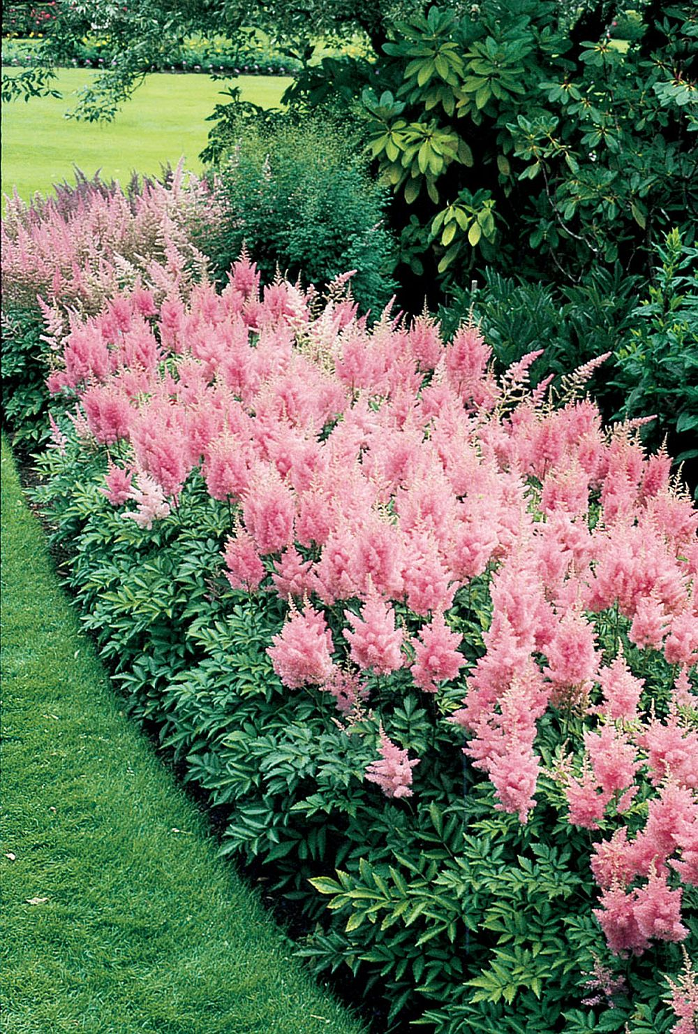 adelaparvu.com despre Astible, plante cu flori pentru gradini semiumbroase, text Carli Marian (9)
