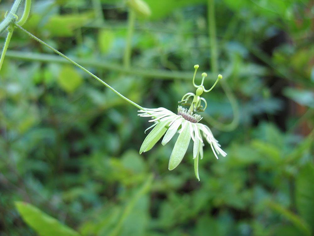 adelaparvu.com despre Florea Pasiunii, Passiflora incarnata, Text Carli Marian (12)